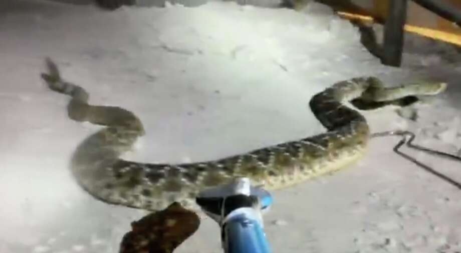 """Brett Parker is a self-taught snake handler who has been lassoing the slithering reptiles since he was five years old. He now runs a Canyon Lake-base snake removal business. So while his Facebook followers were impressed by his GoPro camera footage of his latest rattlesnake removal from under a home in New Braunfels, he said the call was """"fairly usual."""" Photo: Courtesy, Brett Parker"""