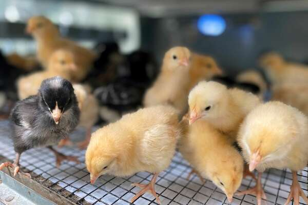 The coronavirus pandemic has propelled interest in owning backyard chickens.