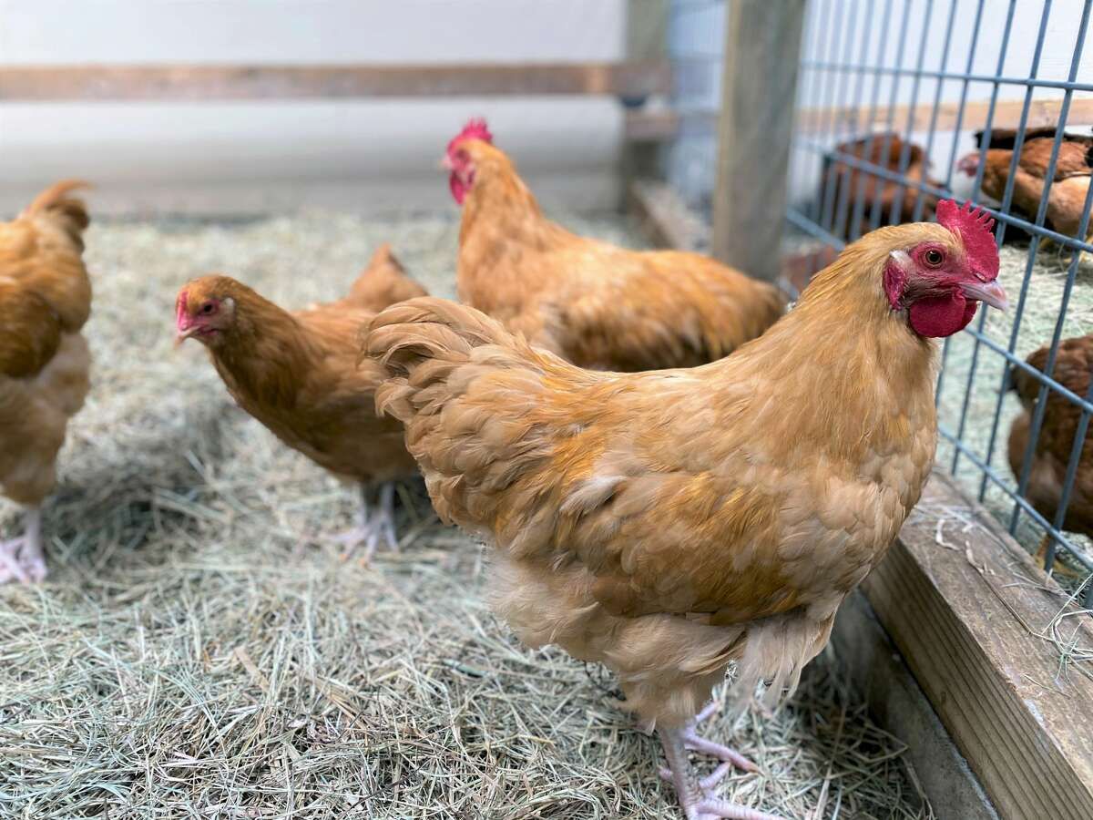 Chicks, which take about 17 weeks to start laying eggs, are priced at $6 to $8 each. Ready-to-lay hens are more expensive, starting at $20 apiece, but will provide eggs much sooner.