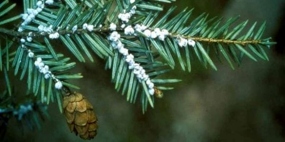 Hemlock wooly adelgid is an invasive East Asia insect that feeds off the sap of Hemlock and Spruce trees.