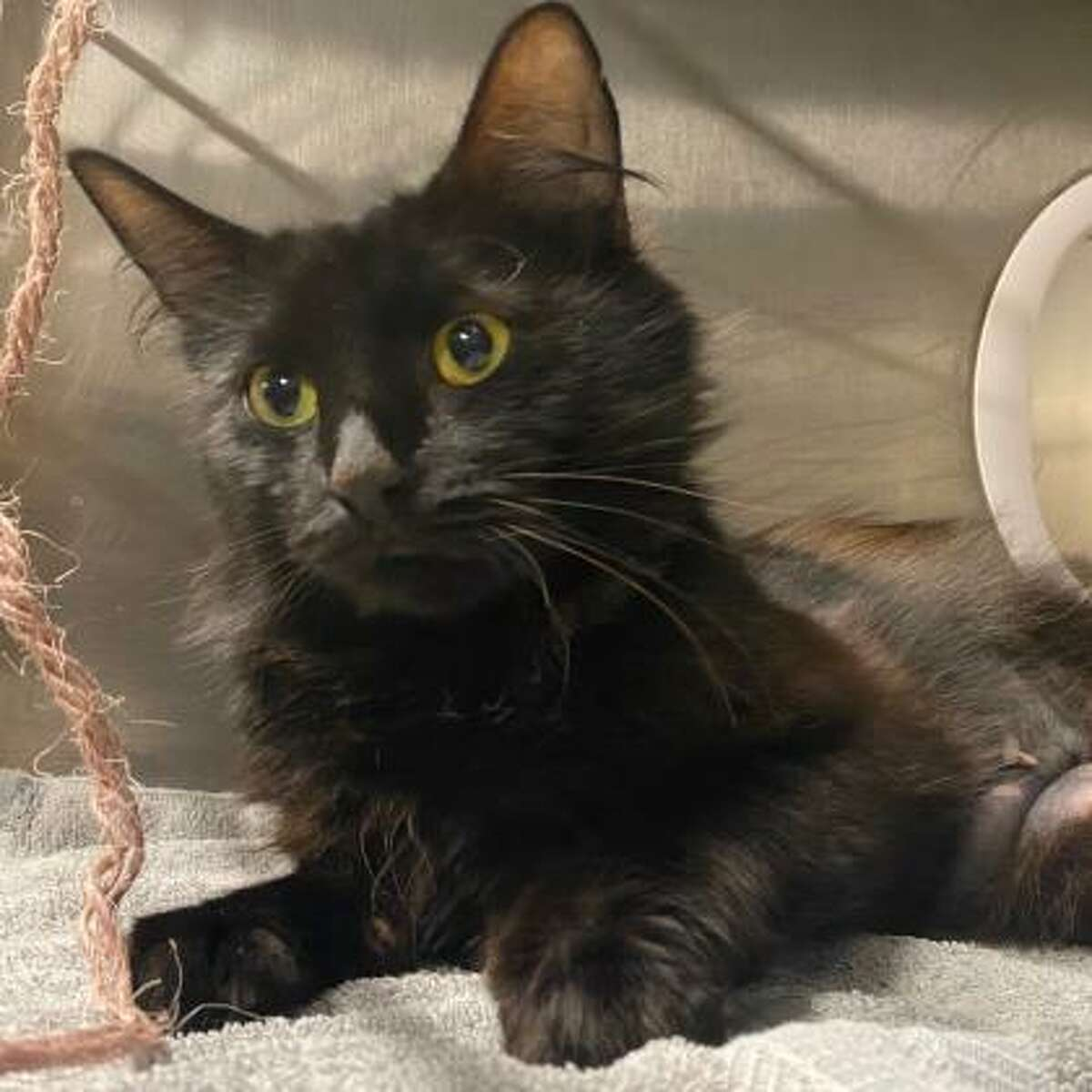 Jetta is a 1-year-old female domestic short hair mix.