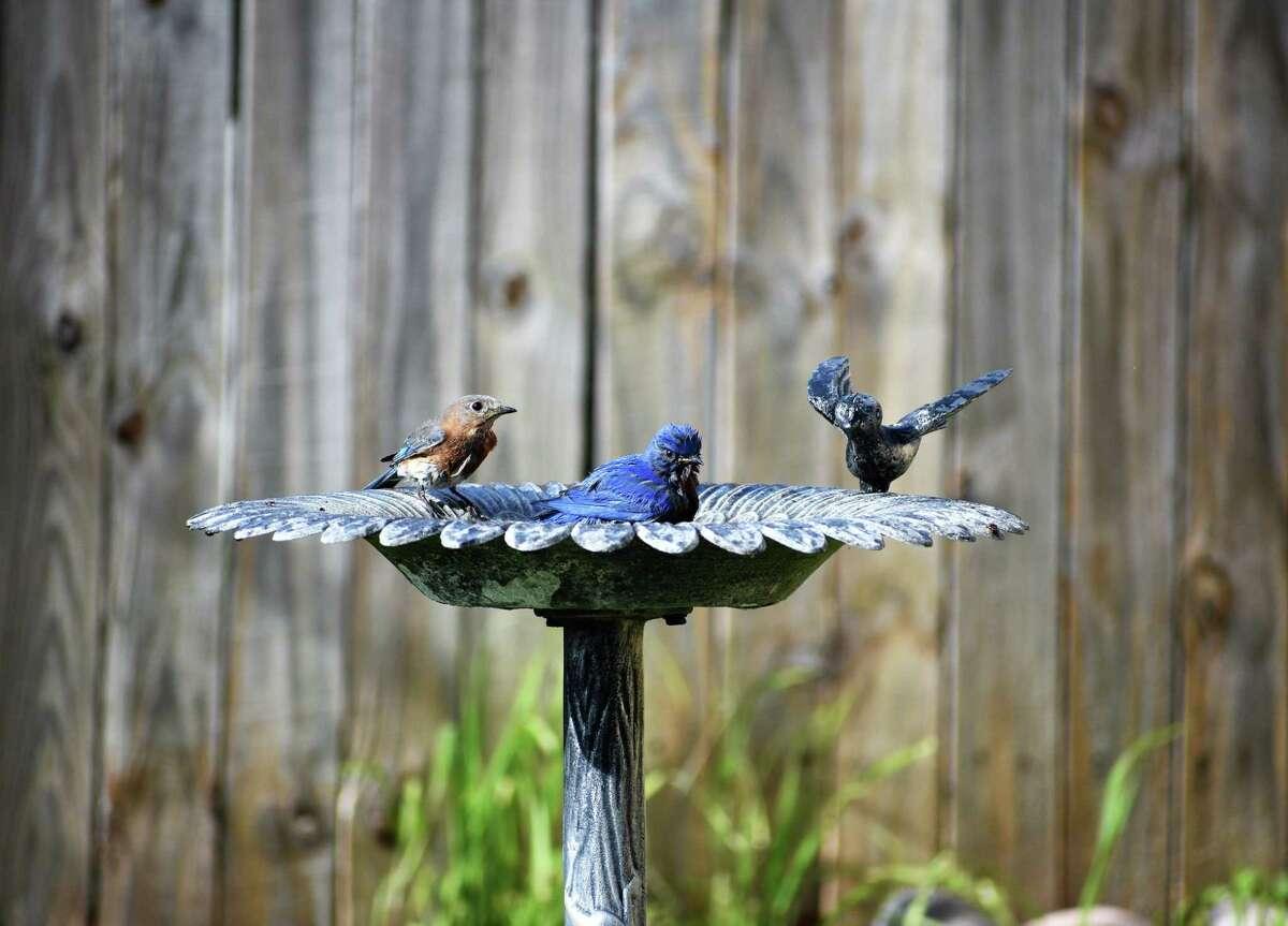 Bluebirds take a bath.