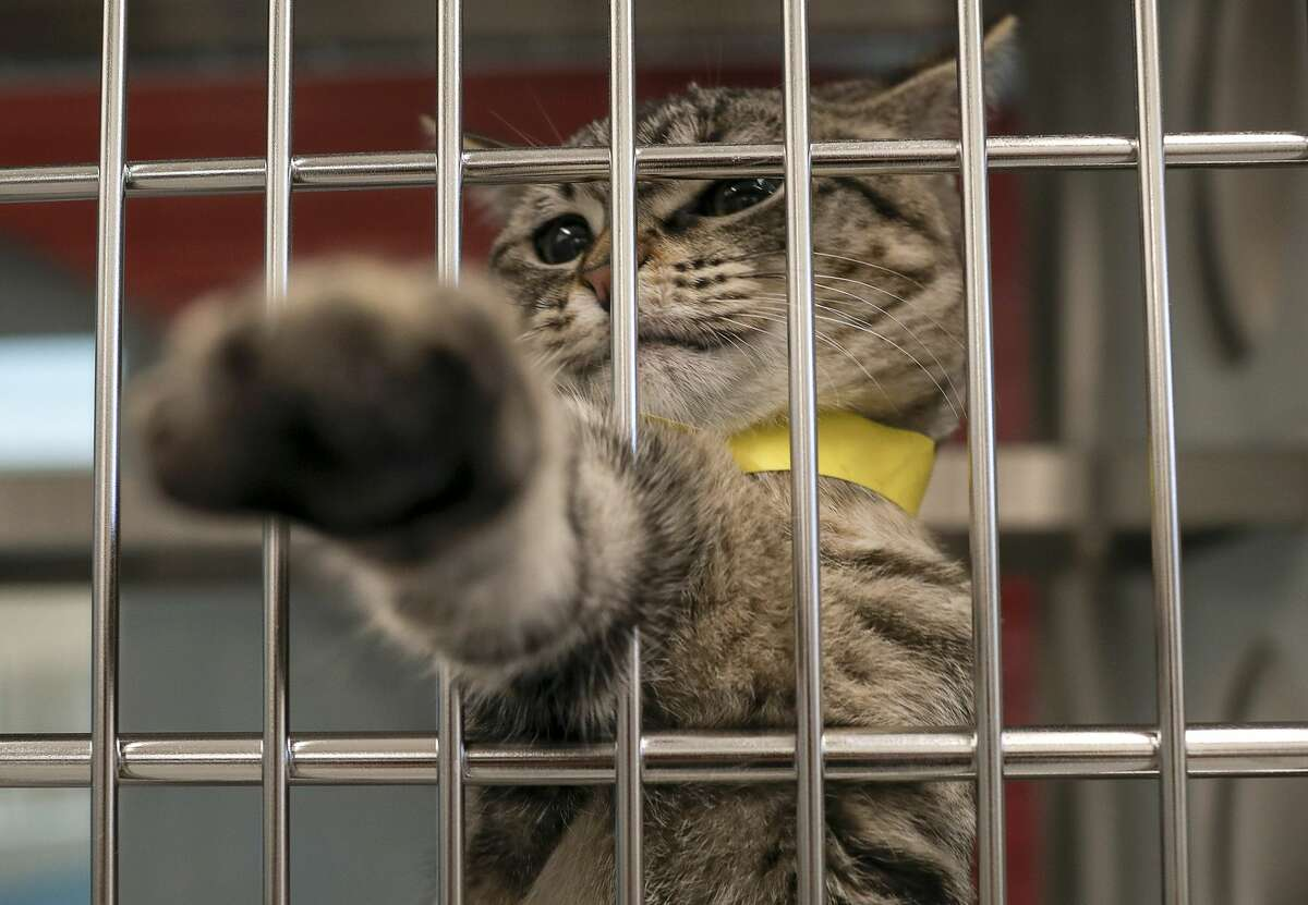 A cat bats at a photographer Wednesday, Aug. 12, 2020, at Harris County Pets in Houston. Animals were moved from the old shelter into the new shelter that morning.