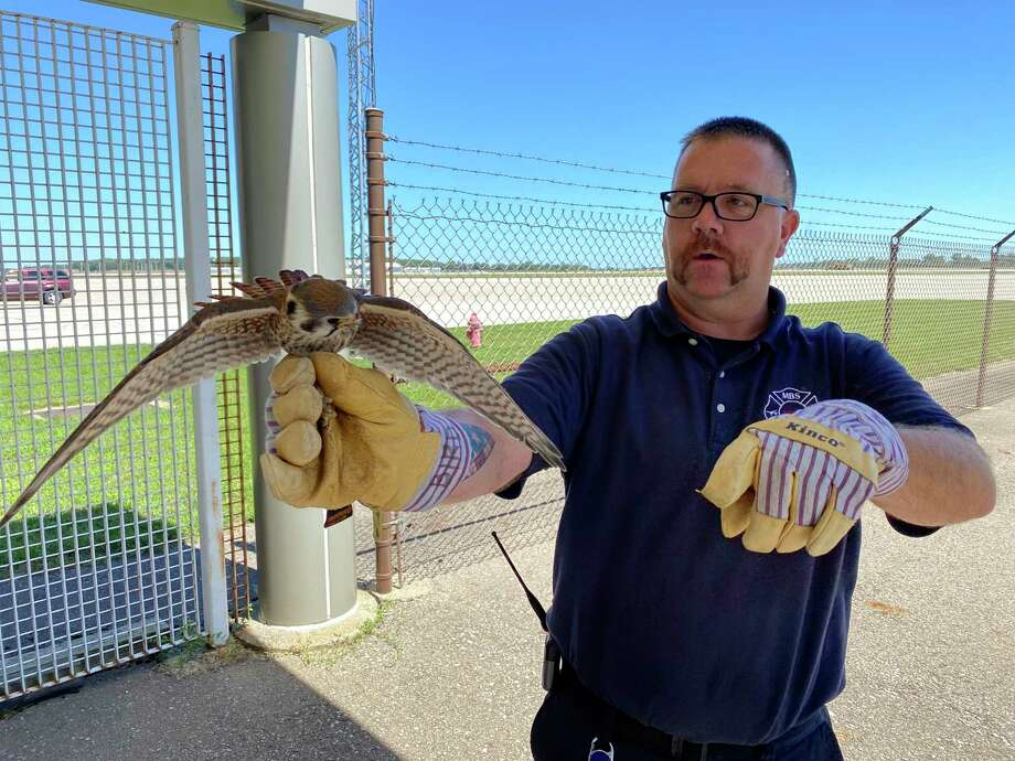 MBS employee Steve Bernreuter carefully handles a kestrel at the airport before preparing it for release into the wilds. Under the direction of the USDA Fish & Wildlife Division, MBS Airport Rescue & Firefighting operations personnel are responsible for a wildlife hazard management program. The program reduces the risk of wildlife coming into close contact with aircraft. The kestrel shown here will be relocated to a wildlife refuge area. Kestrels are members of the Falcon Family.