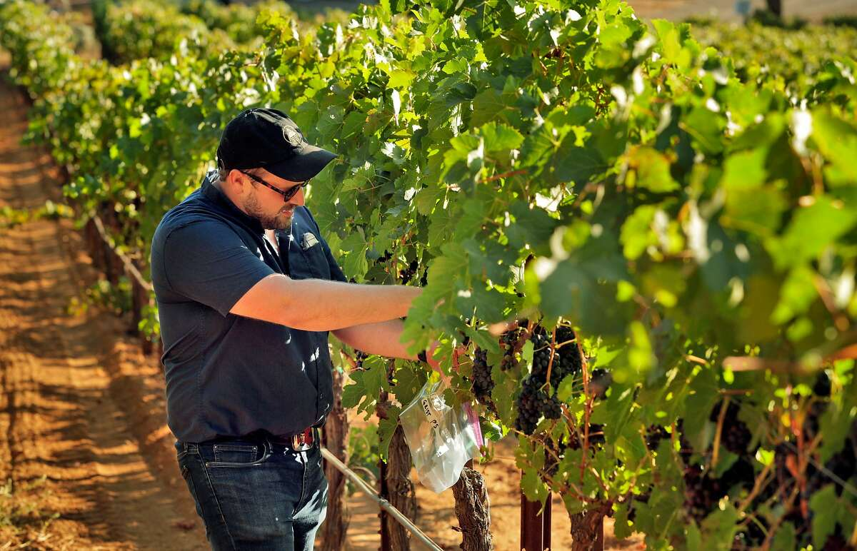 Scott Kirkpatrick samples grapes at Grist Vineyard where he will soon harvest with his wife, Alison Watkins in Healdsburg, Calif., on Wednesday, August 12, 2020. Scott Kirkpatrick and Alison Watkins are the couple behind Mountain Tides, a wine label focusing on Petite Sirah throughout California. They are making Petite Sirah in a new, exciting way, rejecting the dense, unbalanced styles of the wine that are popular and crafting versions with more finesse and energy.