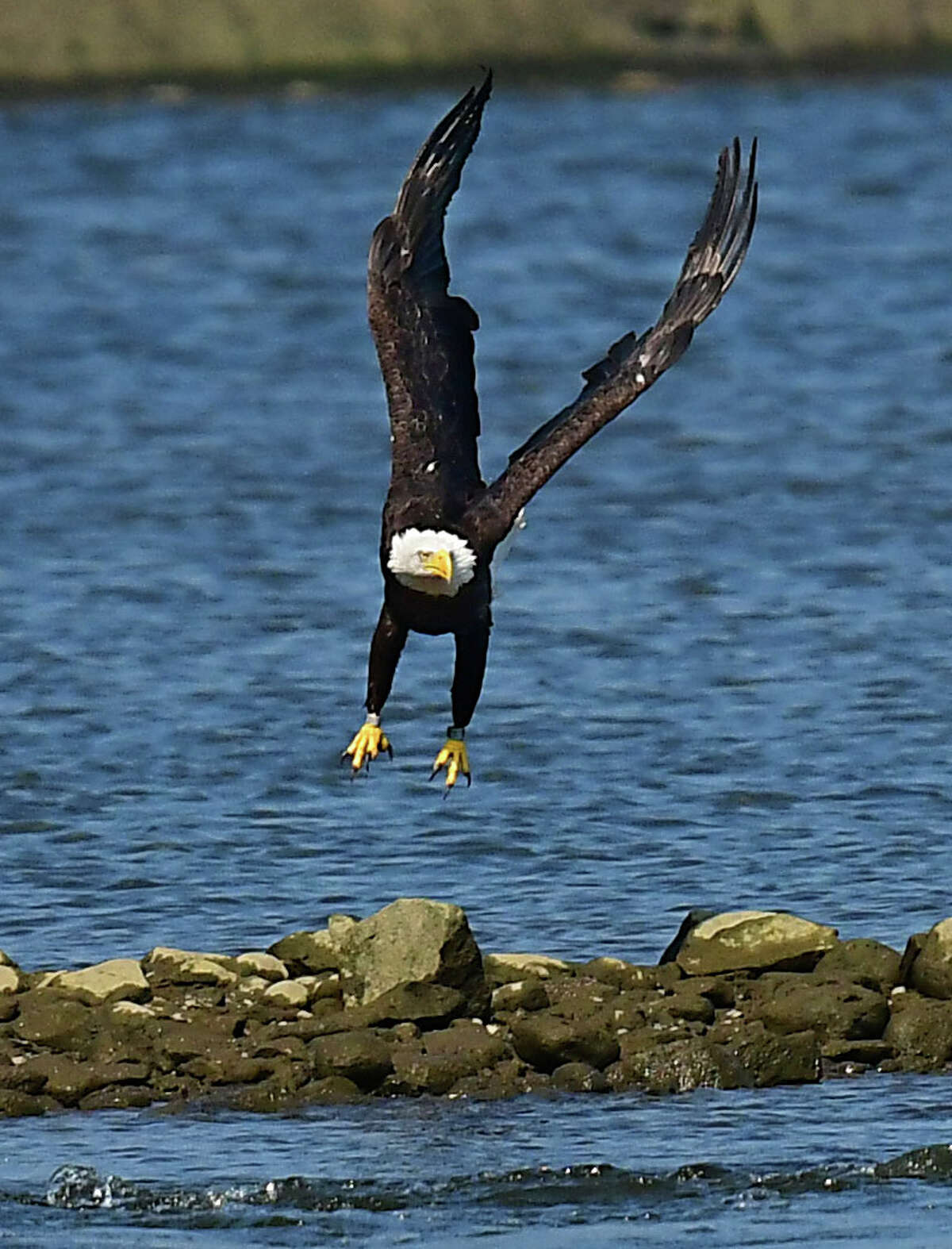 A bald eagle looking for food is seen taking off from a group of rocks on the Hudson River on Friday, Aug. 14, 2020 in Troy, N.Y. (Lori Van Buren/Times Union)