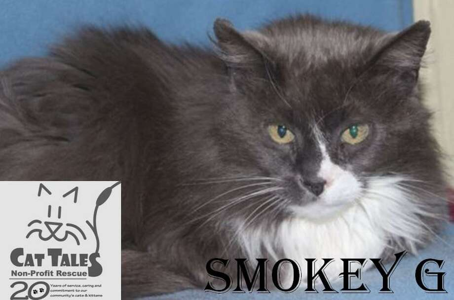 """Smokey is a 10-year-old male gray and white longhaired kitty. He says, """"I was found outside abandoned at a Cat Tales colony. I lived there for a few years because my family moved away and left me behind. I am a very sweet boy and love attention. I love to be petted and will let you hold me when I'm in the mood. I do need to be the only pet in the house. I'd love to come home with you. Please adopt me."""" Visit http://www.CatTalesCT.org/cats/Smokey-G; call 860-344-9043 or email: info@CatTalesCT.org. Watch our TV commercial: https://youtu.be/Y1MECIS4mIc Photo: Contributed Photo"""