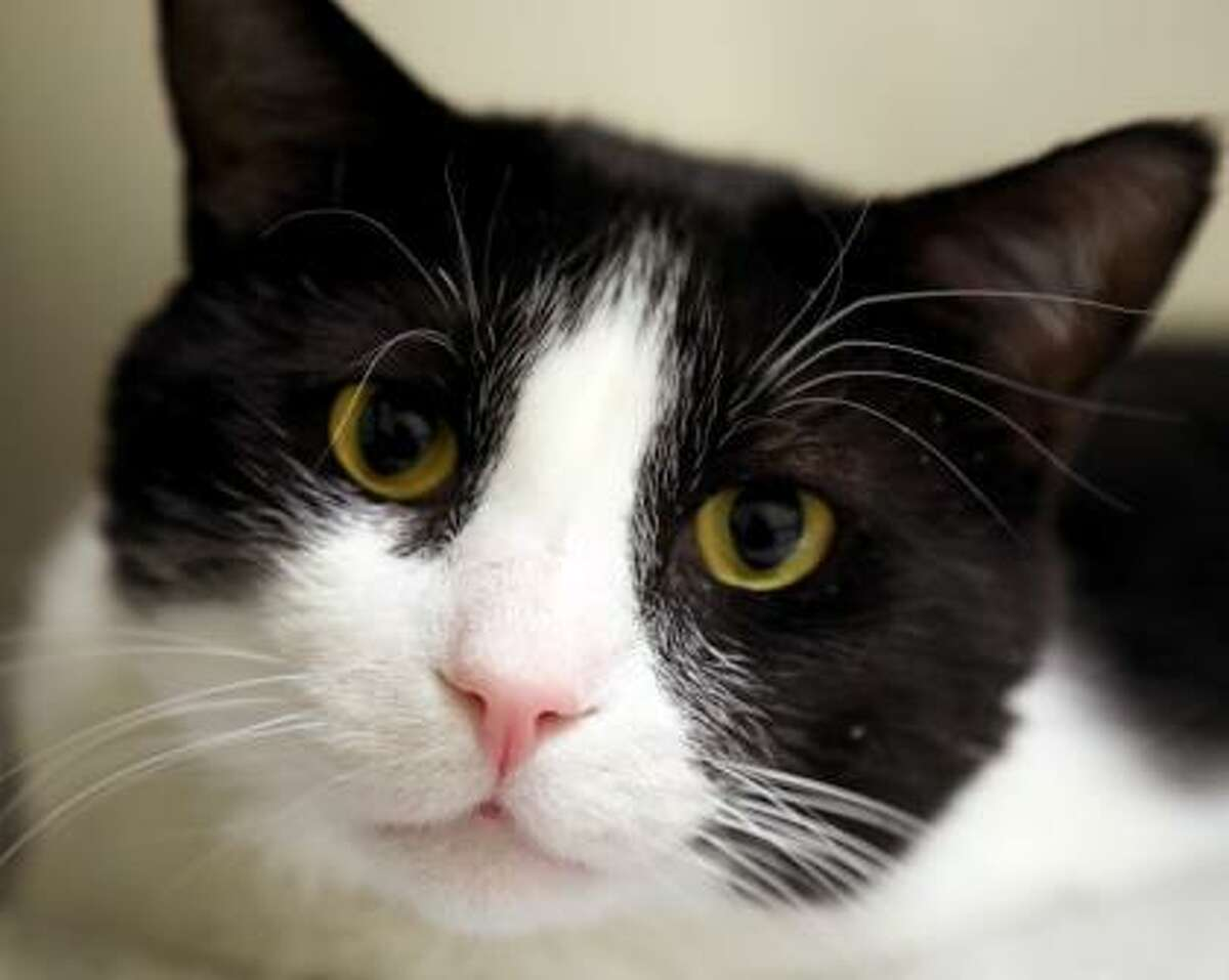 This handsome tuxedo cat is Charlie, who is looking for a quiet home with experienced cat folks. This healthy 5-year-old loves to play with wand toys and he enjoys being a lap cat. Charlie does need to be the only cat in the house. He does not have much experience with dogs, but he may be OK sharing his home with them. Charlie is a reserved kitty who is looking for some attention and a comfortable perch to watch the critters out a sunny window. Charlie is waiting at our Newington Adoption Center. Remember, the Connecticut Humane Society has no time limits for adoption. To learn more about operations during COVID-19, go to https://cthumane.org/adopt/adoption-process/. Applications for adoption can be obtained at https://cthumane.org/adopt/all-adoptable-pets/.