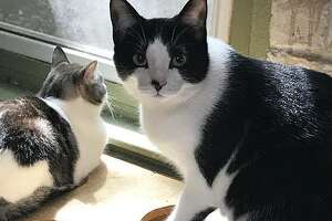 Arabella is a beautiful black and white cat with amber eyes and is a little over three years old. She has a sweet personality, loves to cuddle, and enjoys games with balls and laser lights.