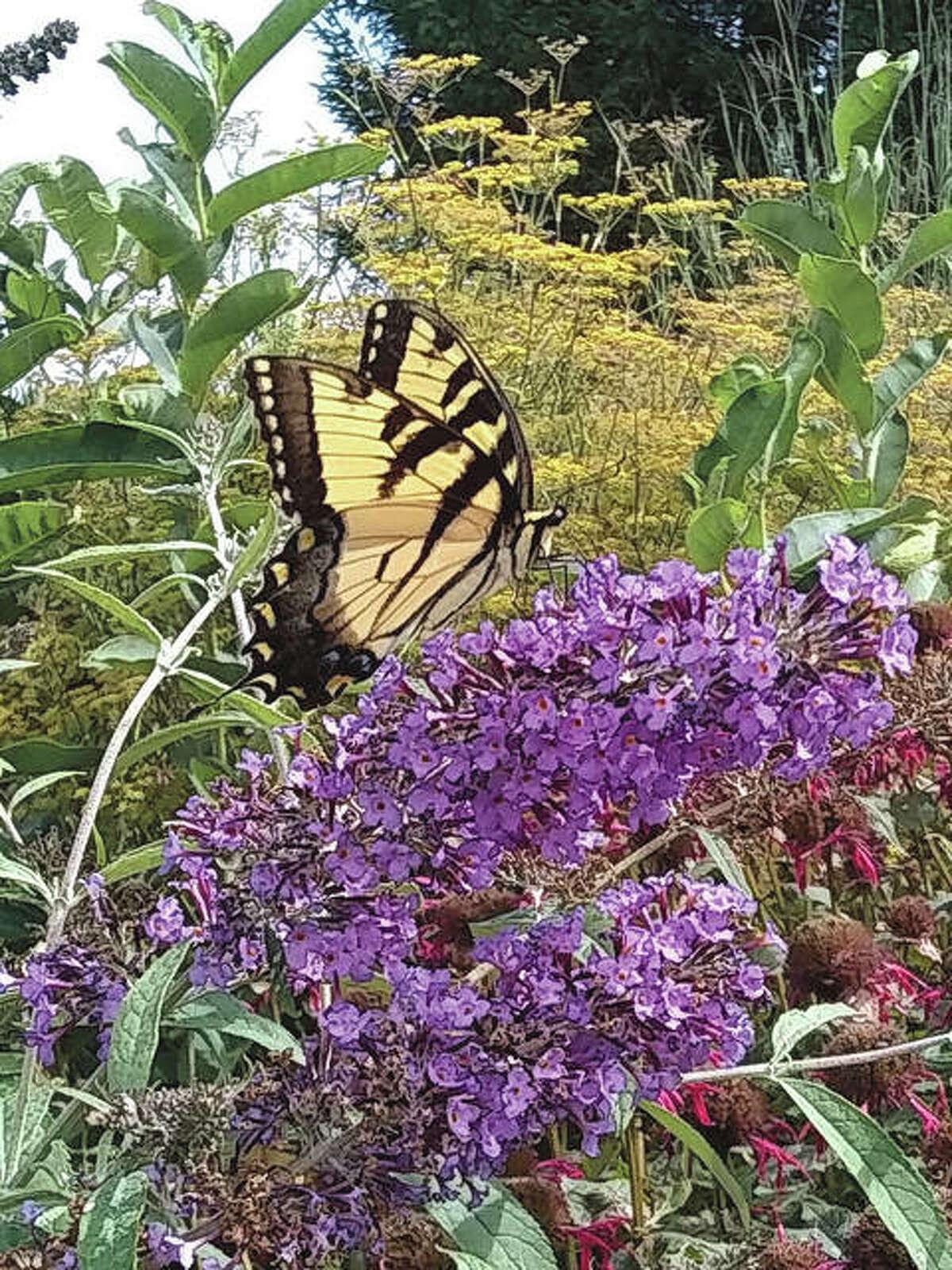 A tiger swallowtail butterfly flutters through a field.