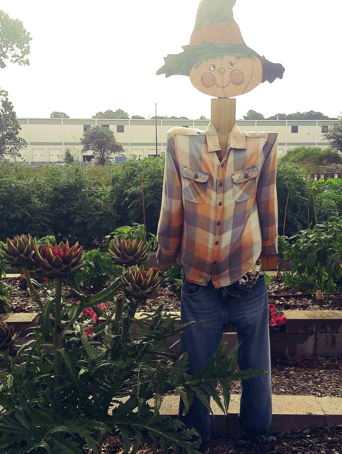 A scarecrow stands proudly in the middle of the community garden at Messiah Lutheran Church on Telge Road in Cypress. The garden is used to donate fresh vegetables and fruit for the needy at Cypress Assistance Ministries.