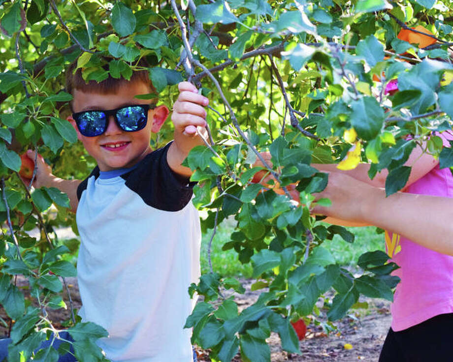 2019 file photo: Drew Capron muscled his way into an apple tree to snag its fruit at Liberty Apple Orchard in Edwardsville. Photo: Tyler Pletsch | Intelligencer