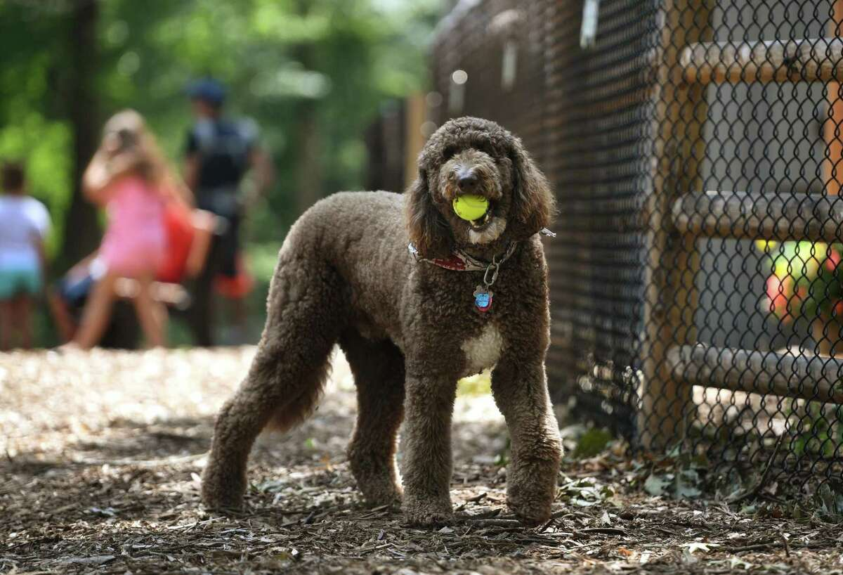 Cooper, a poodle/golden retriever mix belonging to Robert Cooper, of Stratford, retrieves a tennis ball during a visit to the new Jared's Dog Park in Roosevelt Forest in Stratford on Aug. 9. The park was built in honor of Stratford dog lover Jared Levine, who passed away in 2016.