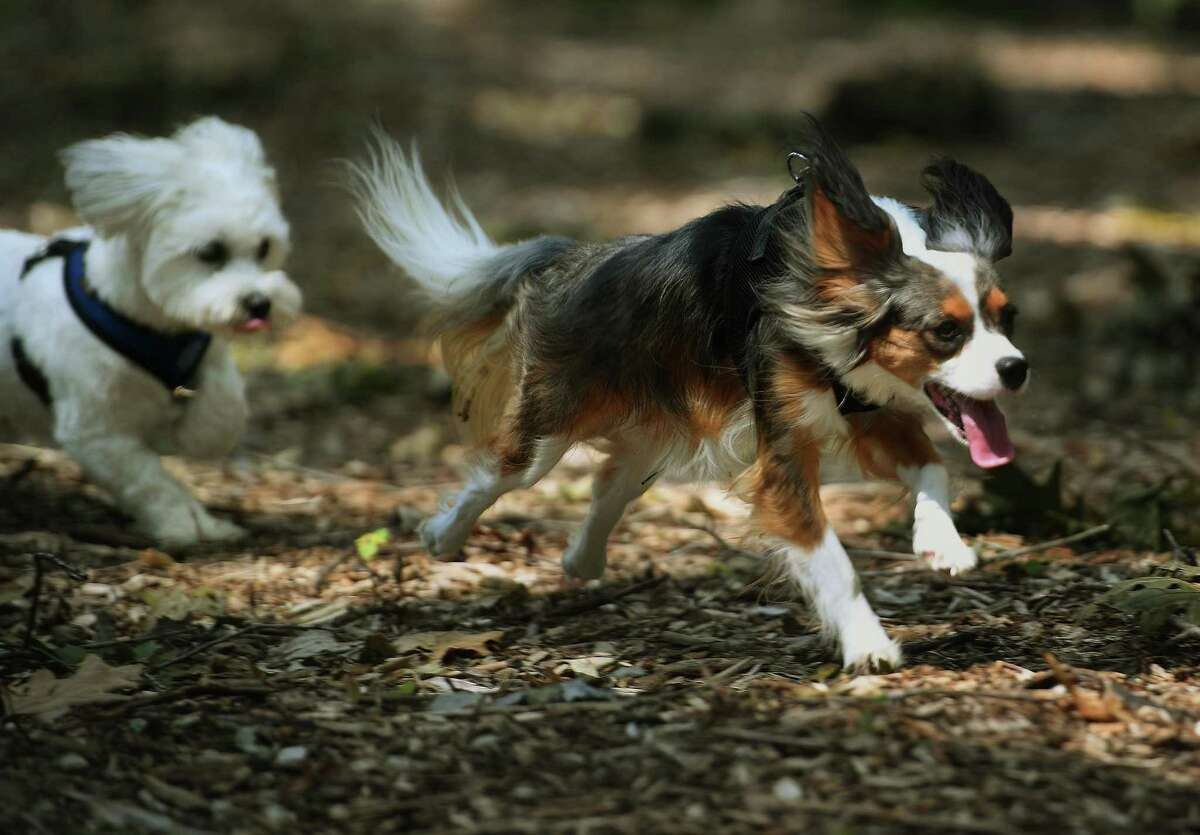 Dogs romp and play during a visit to the new Jared's Dog Park in Roosevelt Forest in Stratford, Conn. on Sunday, August 9, 2020. The park was built in honor of Stratford dog lover Jared Levine, who passed away in 2016.