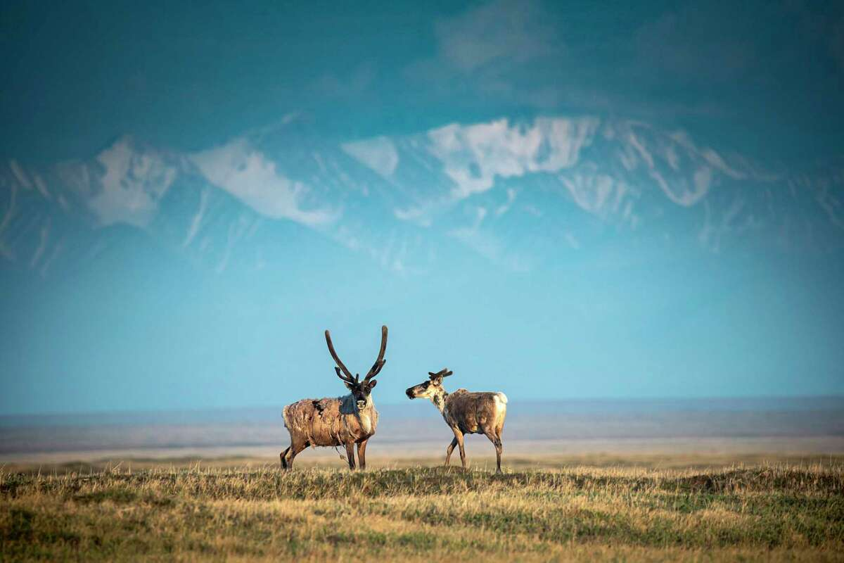 FILE --Caribou from the Porcupine herd walk through the Arctic National Wildlife Refuge in northeast Alaska, June 22, 2019. Overturning five decades of protections for the largest remaining stretch of wilderness in the United States, the Trump administration on Monday, Aug. 17, 2020, finalized its plan to open up part of the Arctic National Wildlife Refuge in Alaska to oil and gas development. (Christopher Miller/The New York Times)