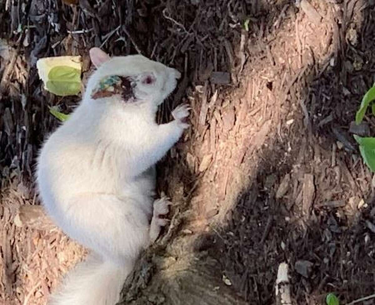 White squirrels are a variant of gray squirrels.