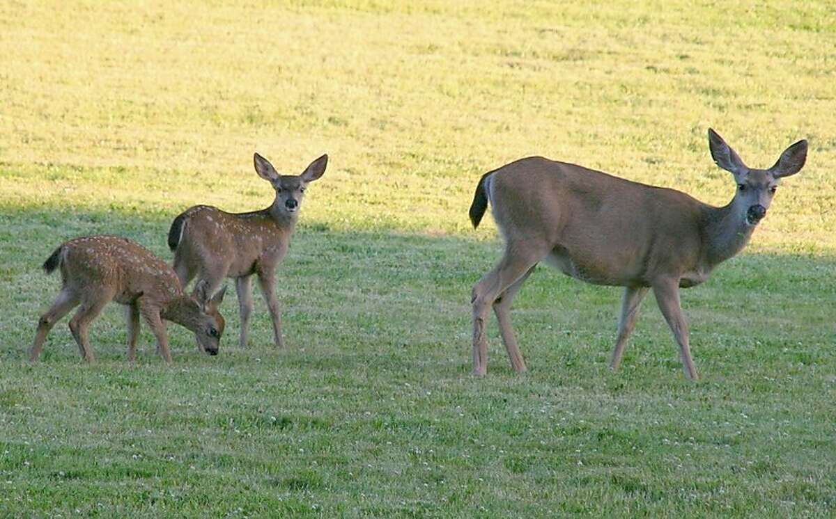 Doe with fawns in meadow near picnic area at Palo Alto Foothills Park Photo by Susan Vance [Permission to use]