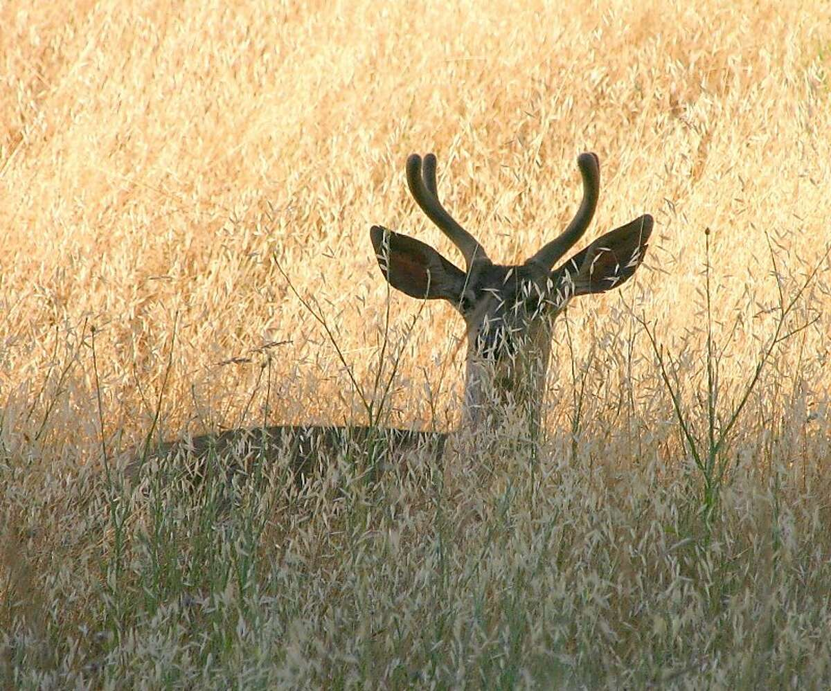 Peek-a-boo buck: A forked horn buck peers out from fall's brown grass at Foothills Park in Palo Alto Photo by Susan Vance