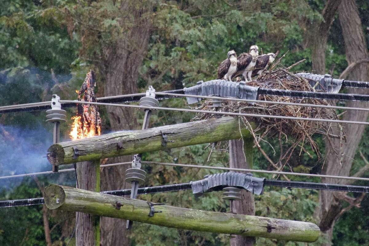 A family of three ospreys in their nest high atop an Eversource high-voltage electrical pole in a marsh along the Branford River, as a fire begins to burn on the pole early Sunday afternoon, Aug. 16, 2020. Less than an hour after this photo was taken, two of the three birds were dead.