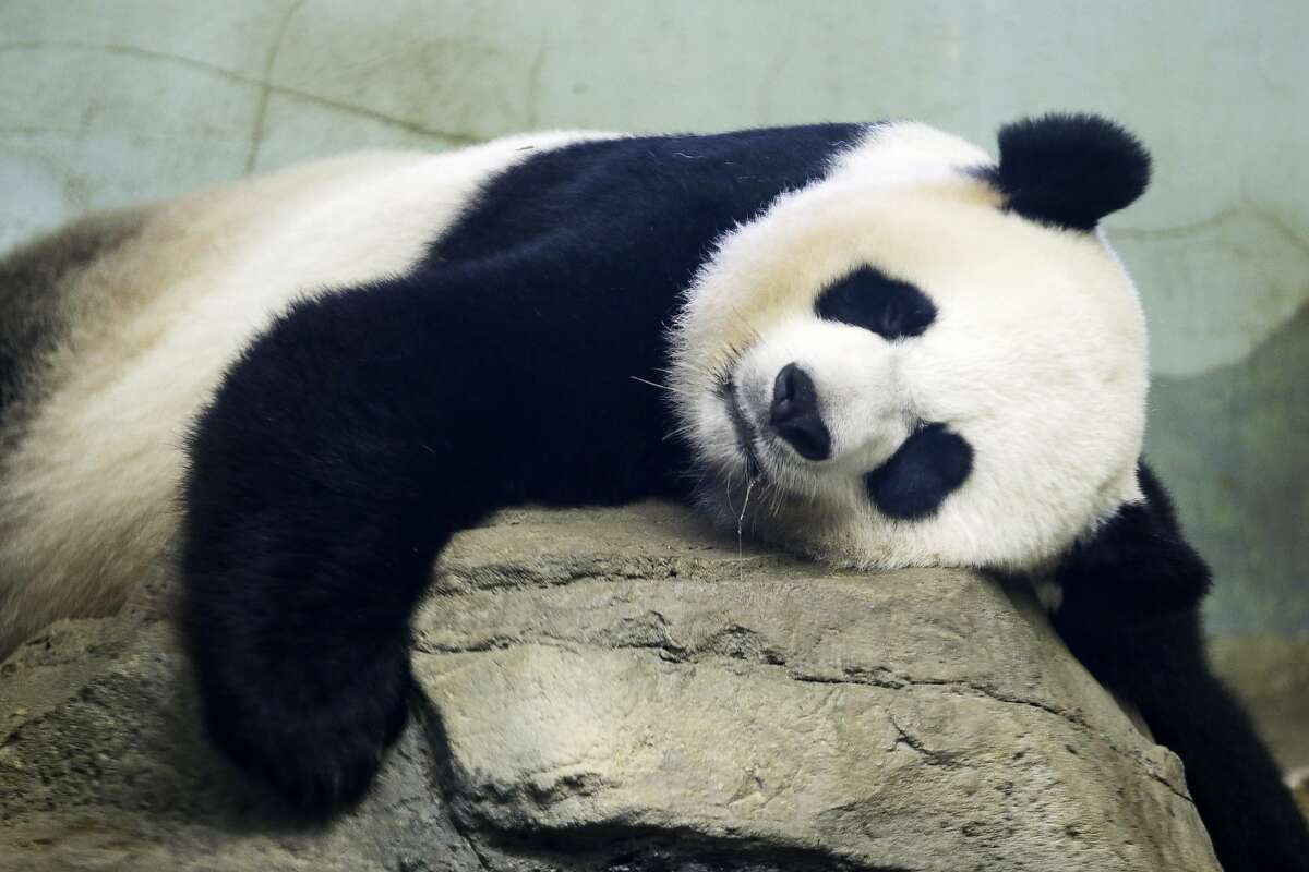 FILE - In this Aug. 23, 2015 file photo, The Smithsonian National Zoo's Giant Panda Mei Ziang, sleeps in the indoor habitat at the zoo in Washington. Zookeepers at Washington's National Zoo are on baby watch after concluding that venerable giant panda matriarch Mei Ziang is pregnant and could give birth this week. (AP Photo/Jacquelyn Martin)