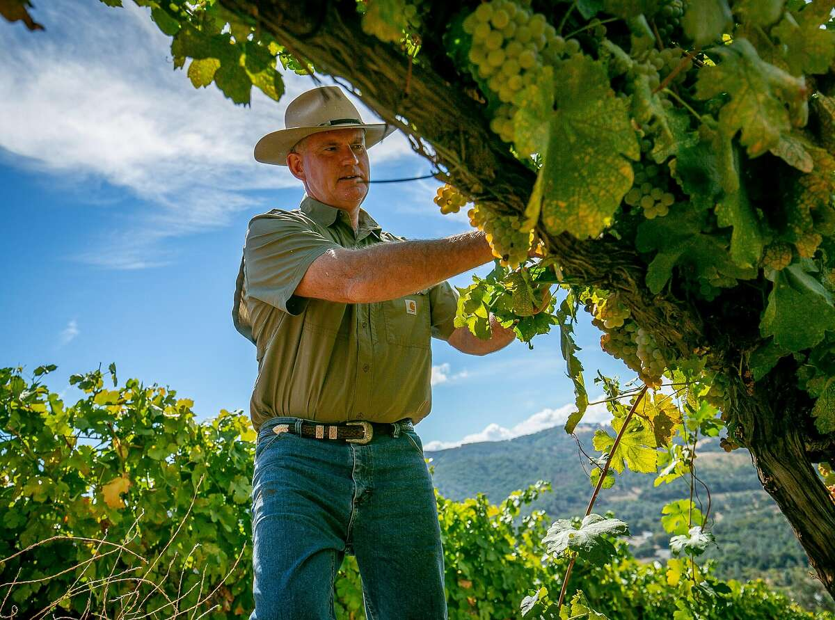Clay Shannon checks on Roussanne grapes in the Shannon Ridge Home Vineyard in Clearlake Oaks, Calif. on October 5th, 2018.