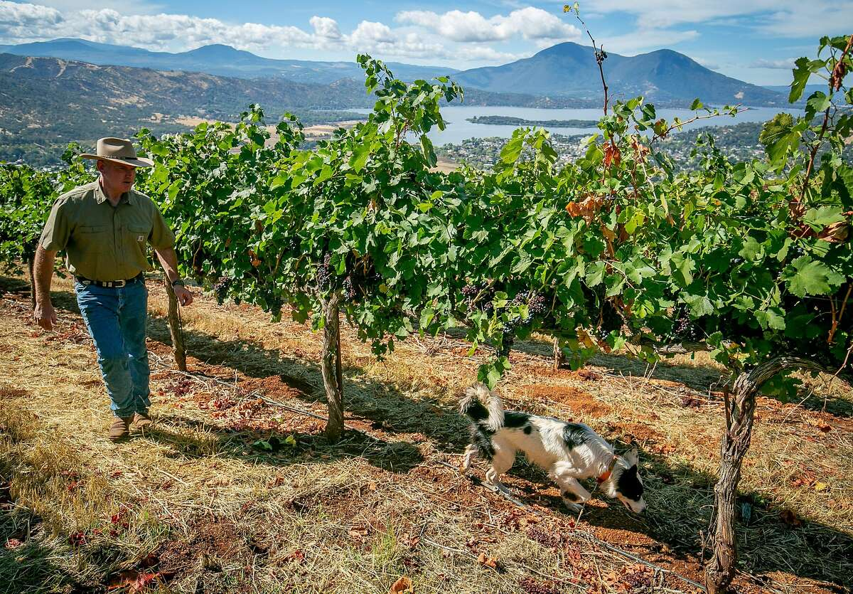 Clay Shannon and his dog Cricket walk his vineyard planted with Petite Sirah in Clearlake Oaks, Calif. on October 5th, 2018. These grapes were refused by Constellation.