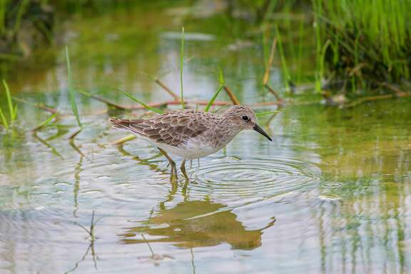 Least sandpipers will show up in sizable numbers during autumn migration. Look for them around neighborhood ponds, lakes, and bayous.