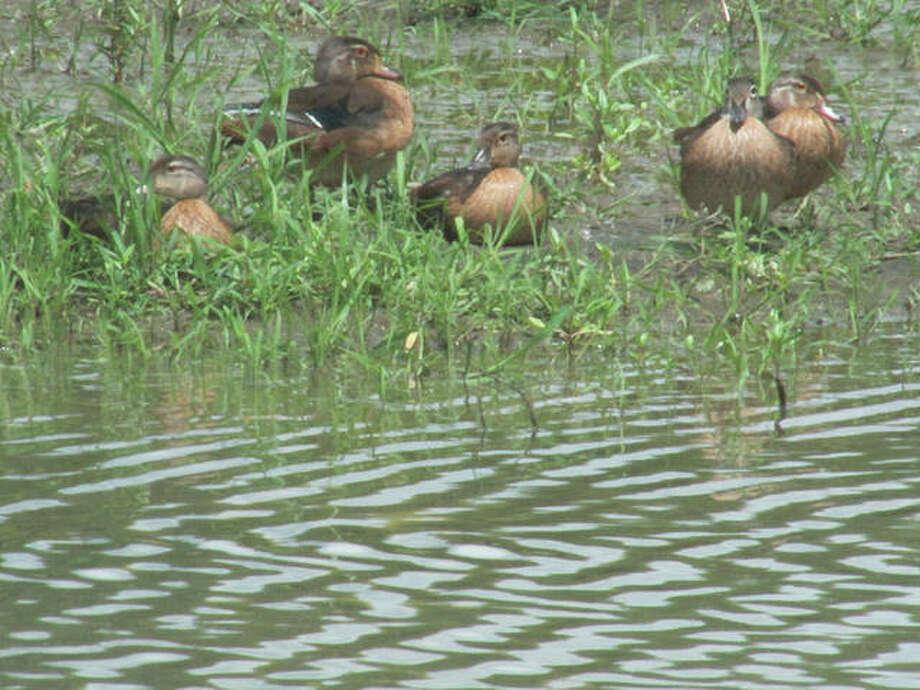Ducks enjoy a walk in a marshy area east of White Hall.