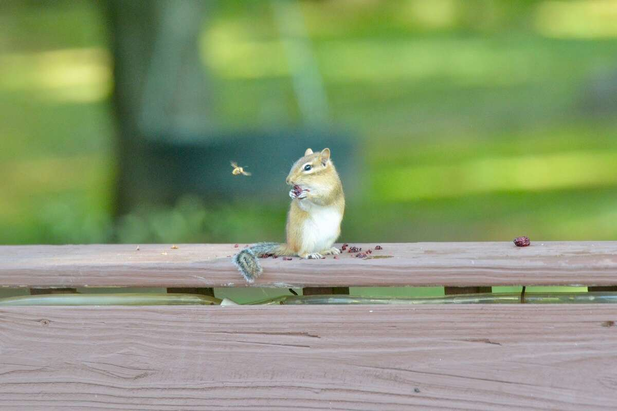 We were feeding our chipmunk friend (his name is Galar) some blackberries on our backyard deck when a curious bee flew up to him to check out what he was eating, perhaps hoping for opportunity to partake in this afternoon snack. Eric Kleiber, Guilderland