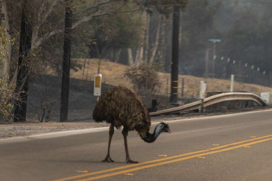 An escaped emu wanders on a roadway in Vacaville, Calif., as the LNU Lightning Complex fire burns, Wednesday, Aug. 19, 2020. Photo: MediaNews Group/The Mercury News/MediaNews Group Via Getty Images / Bay Area News Group - Digital First Media