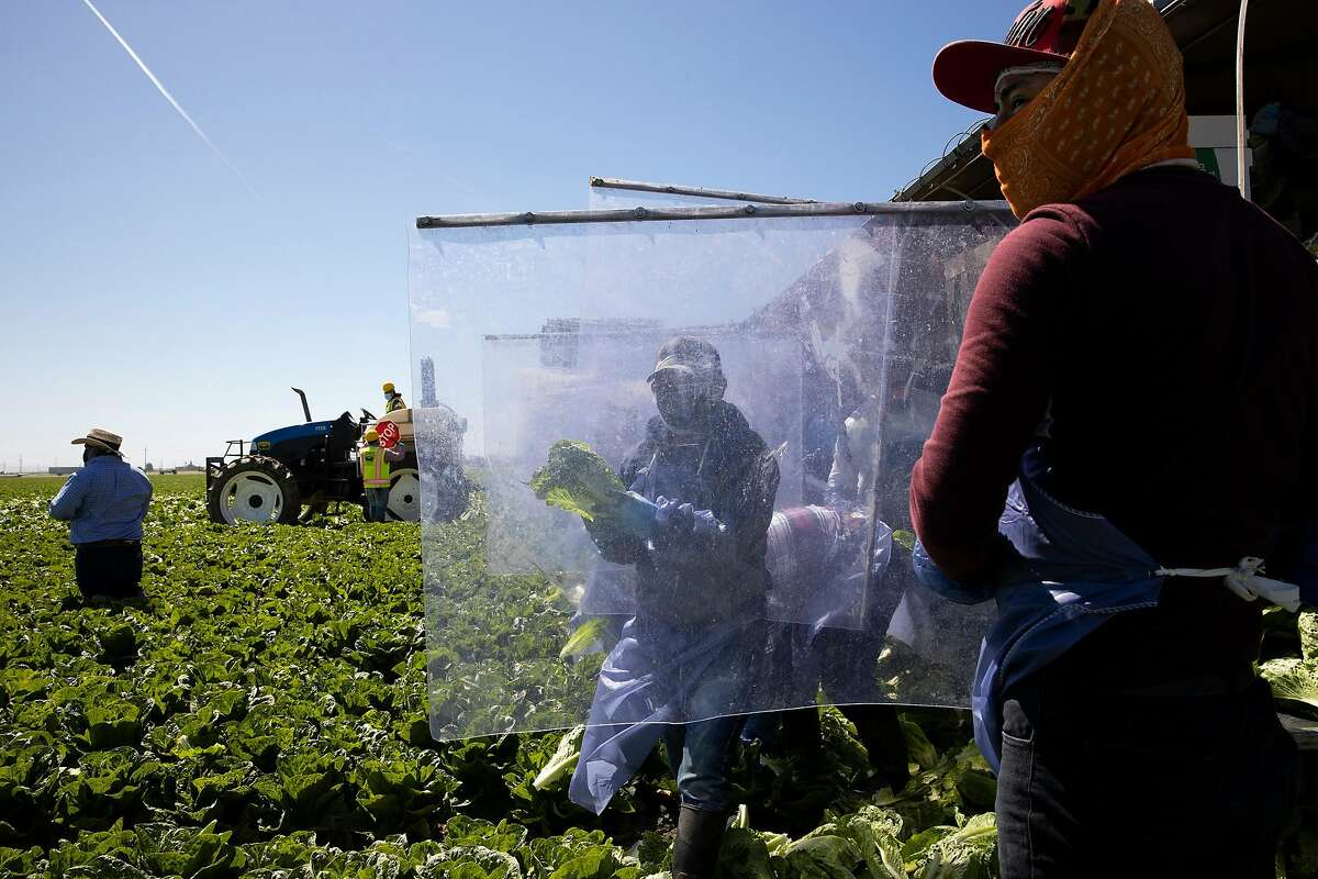 Farm laborers from Fresh Harvest working with an H-2A visa harvest romaine lettuce on a machine with heavy plastic dividers that separate workers from each other on April 27, 2020 in Greenfield, California. Fresh Harvest is the one of the largest employers of people using the H-2A temporary agricultural worker visa for labor, harvesting and staffing in the United States. The company is implementing strict health and safety initiatives for their workers during the coronavirus pandemic and are trying a number of new techniques to enhance safety in the field as well as in work accommodations. (Brent Stirton/Getty Images/TNS)