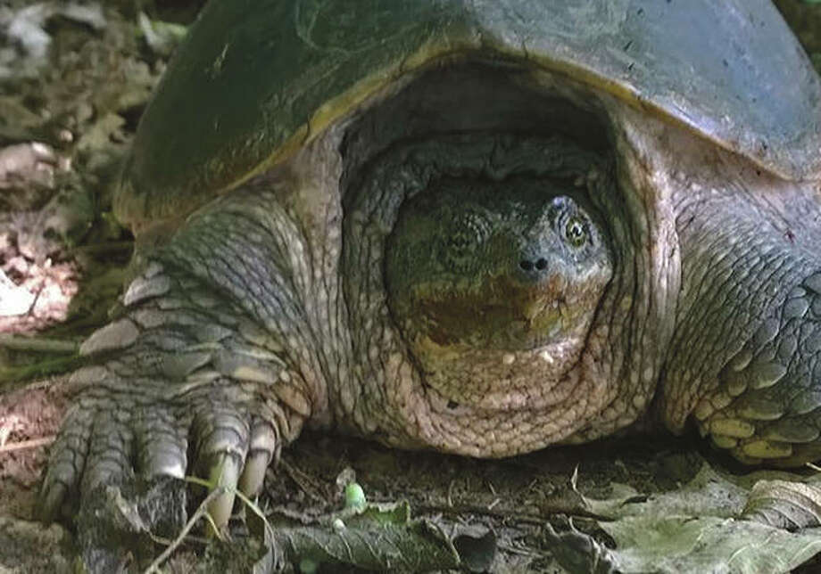 A snapping turtle travels through the timber.