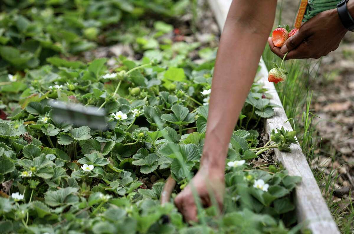 Karena Poke, founder of the Lettuce Live urban farm project, digs for fresh strawberries for her and a student gardener to eat Wednesday, March 18, 2020, at the farm in Missouri City.