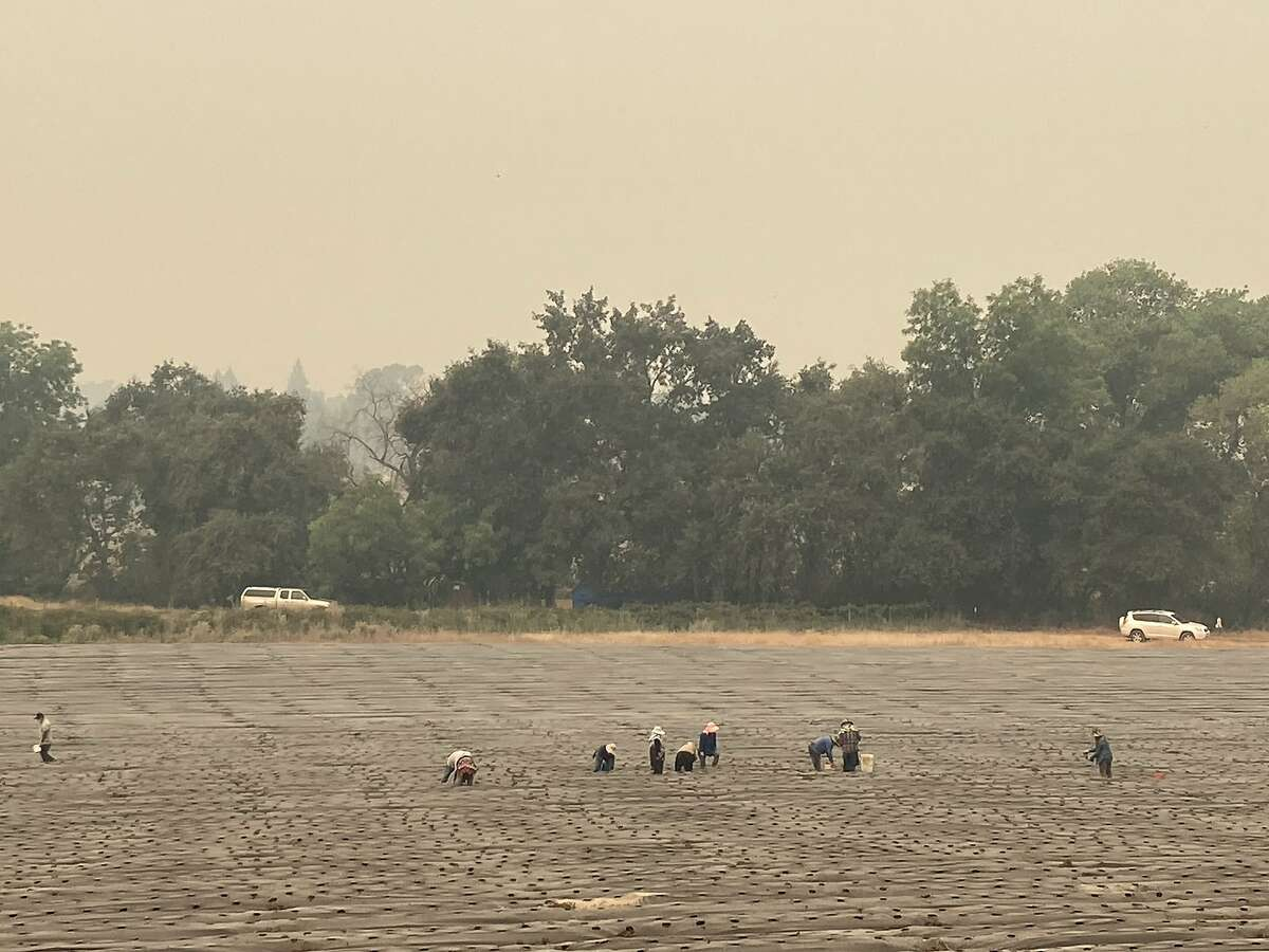 Farm workers pick a crop in a Vacaville field Thursday along Gibson Valley Road amid thick smoke smoke from the LNU Lightning Complex Fire.
