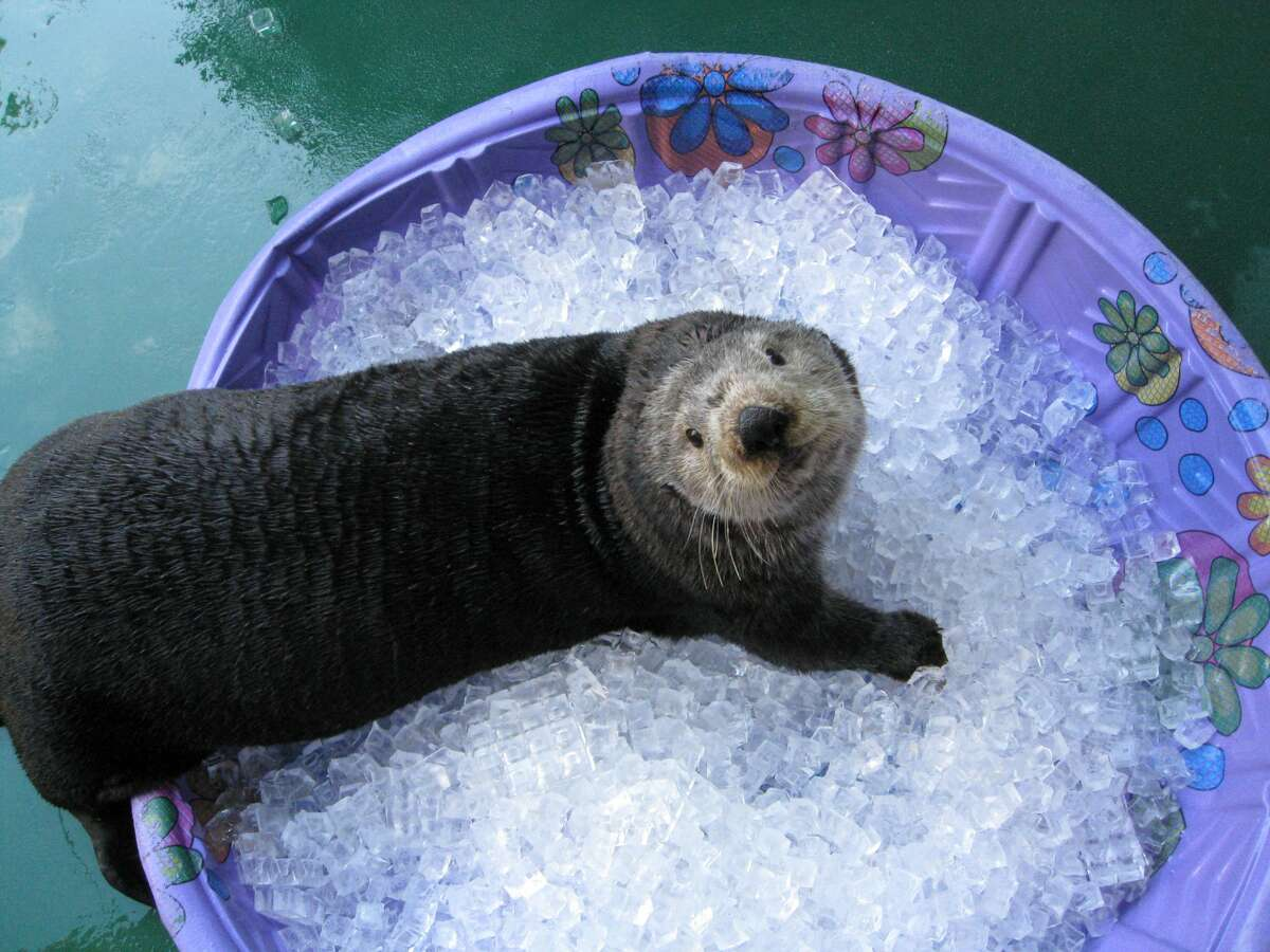 The Aquarium's admission gate is open 9:30 a.m.-5 p.m. daily, with the exhibits closing at 6 p.m. The Seattle Aquarium was granted permission to reopen in Phase 2 and has been open since June 29.