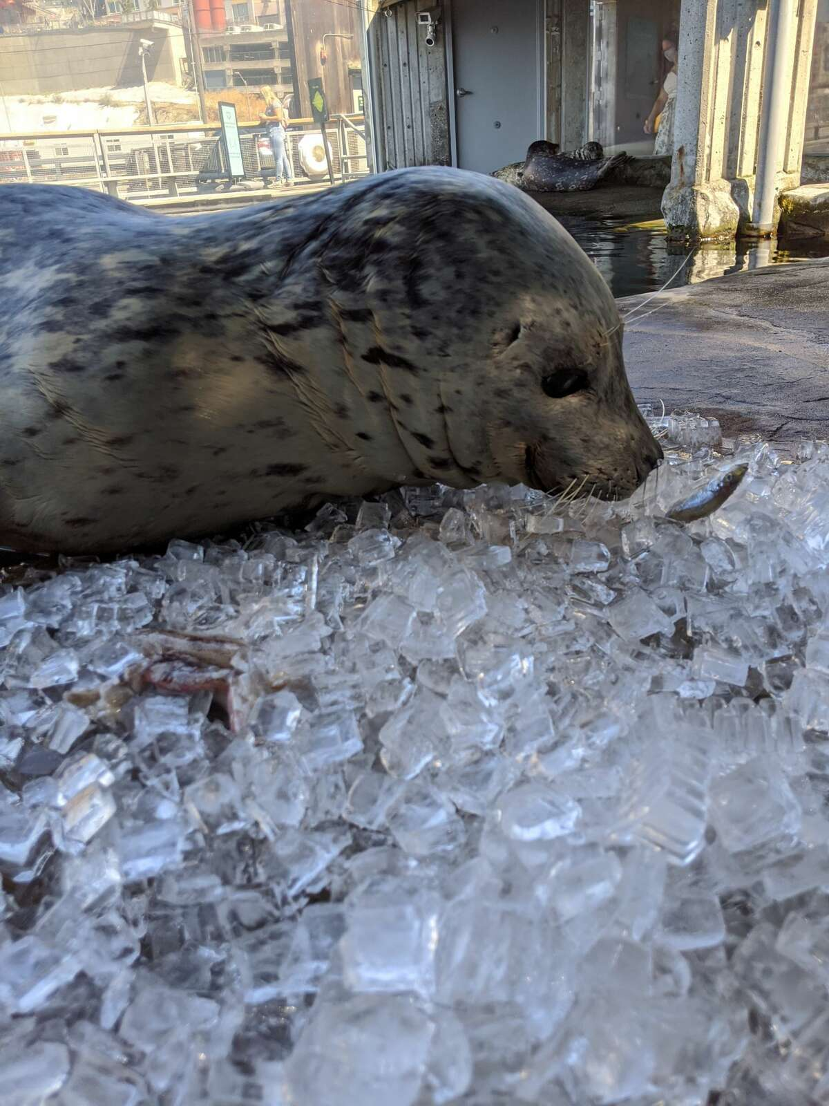 The Aquarium provides daily enrichment to its animals every day to encourage natural behaviors. Did you know that harbor seals use their sensitive whiskers to find fish in the wild? In this photo, Barney the harbor seal uses his whiskers to help him find fish in the pile of ice.