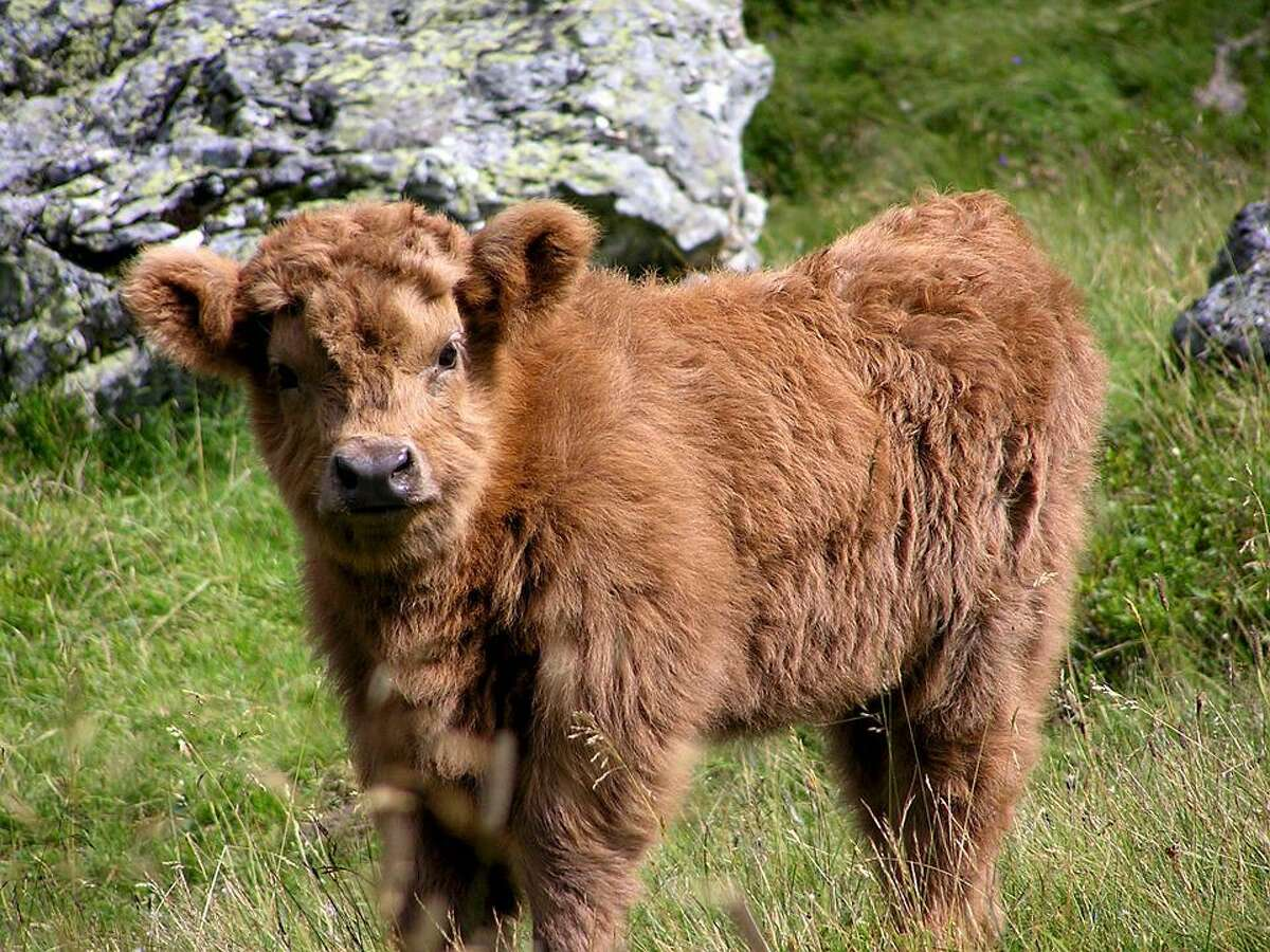 Miniature cows are just like their standard bovine counterparts. People keeping them as pets should be aware they need training and time to be halter broke and tame.