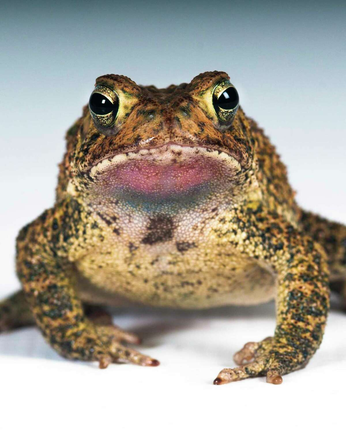 The Houston toad is only found in areas of deep, sandy soil in east-central Texas.