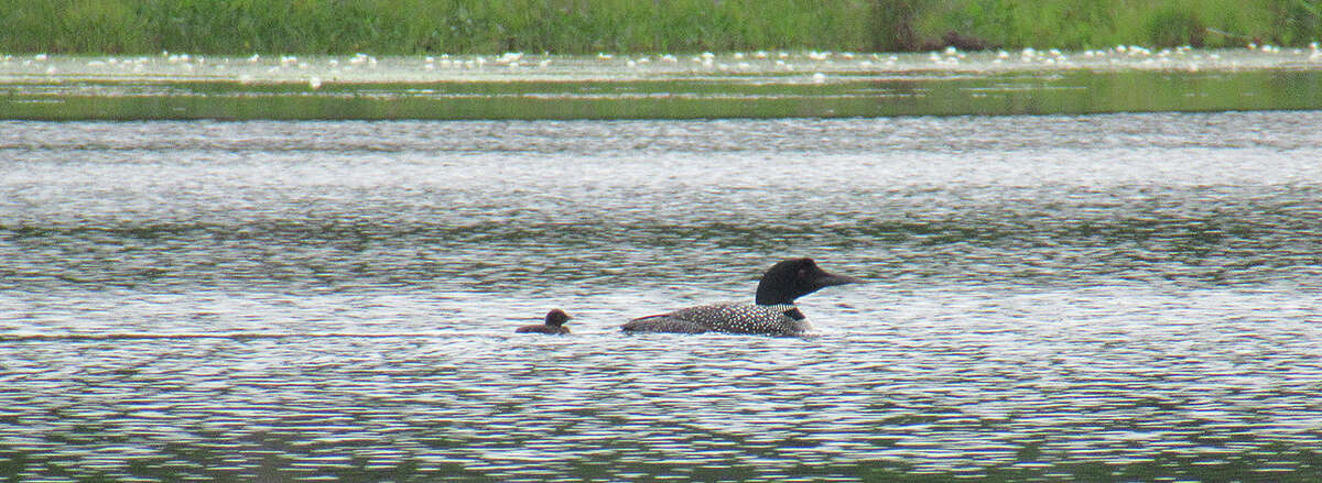 A loon family on Fourth Lake. (Herb Terns / Times Union)