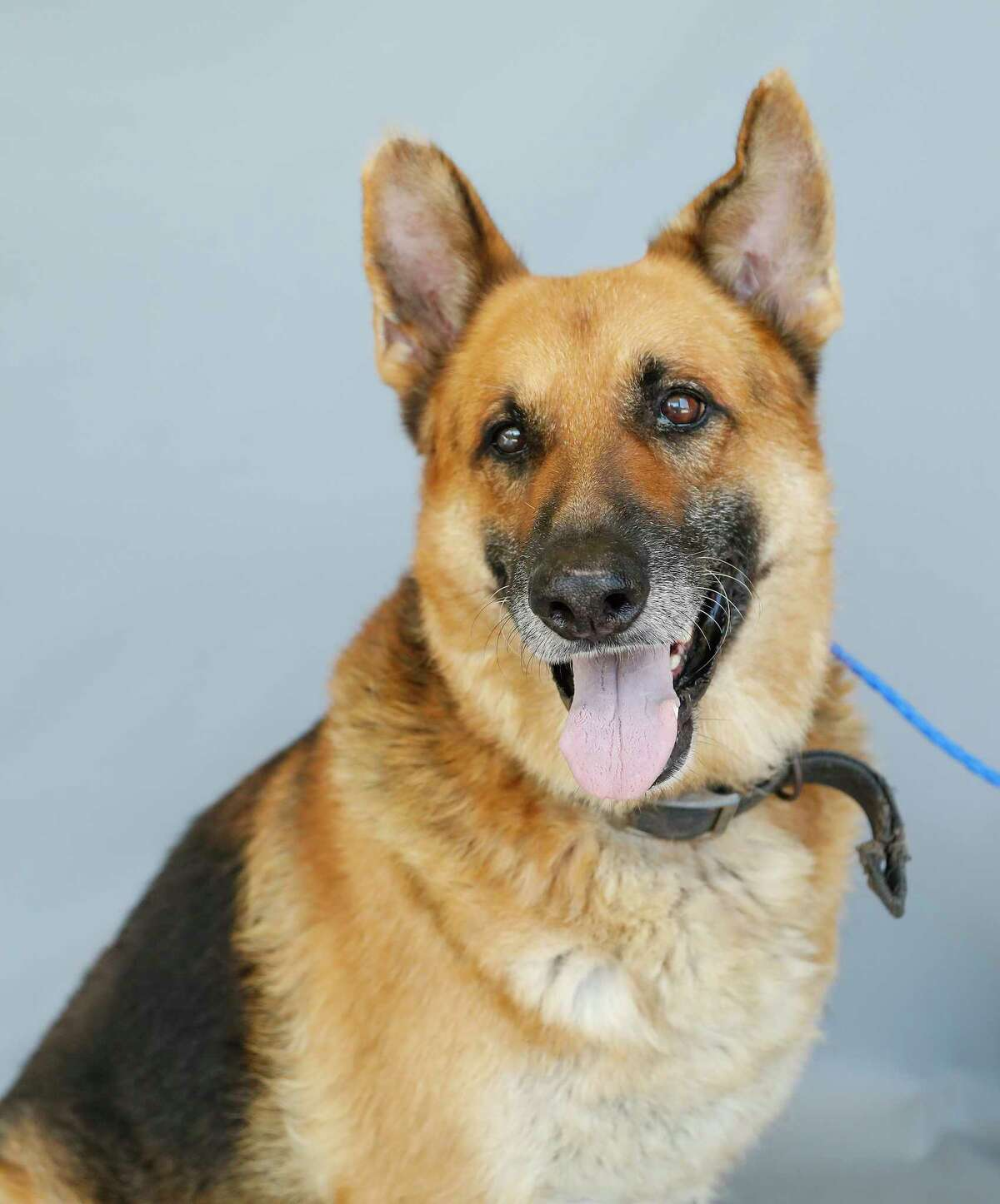 Pluto (A1713702) is a 10-year-old, male German Shepherd mix shelter staff describe as a