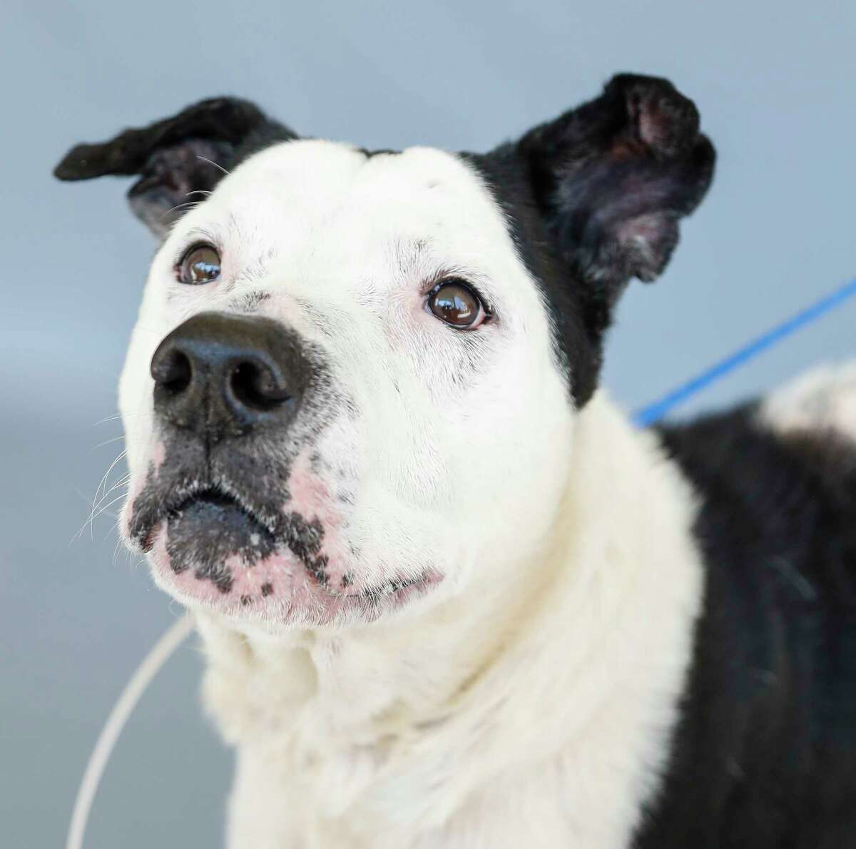 Walter (A1710482) is a 10-year-old, male Pointer/Boxer mix with an amazing personality. Shelter staff said Walter likes to do