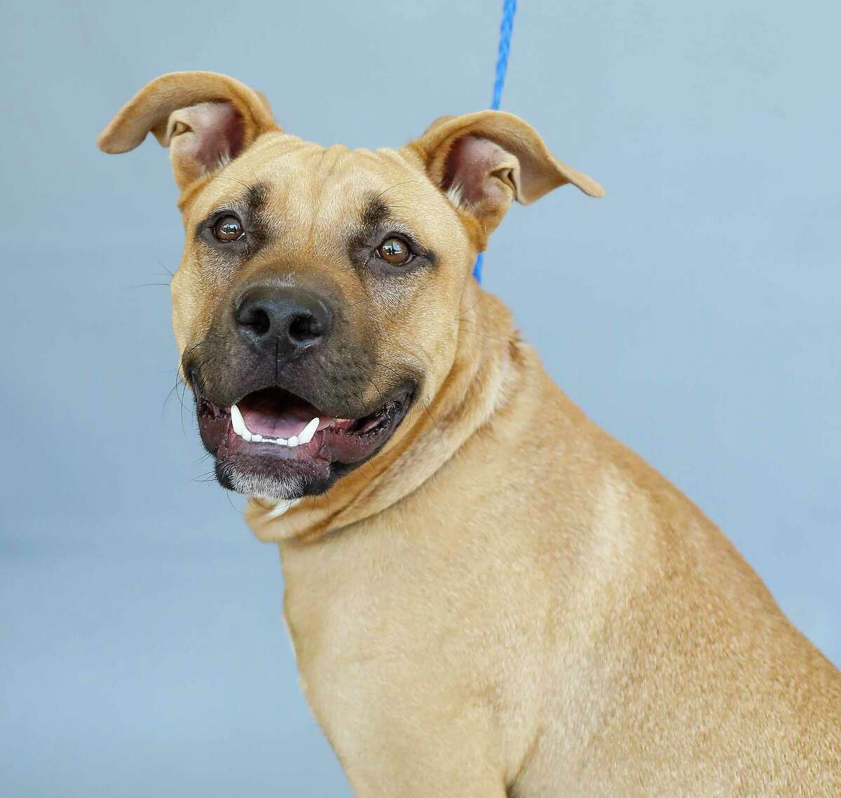 Nacho (A1712550) is a 1-year-old, male Black Mouth Cur mix and his adoption fee is waived.