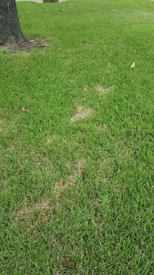 Early symptoms of Ching Bug damage. Photo: Courtesy Photo