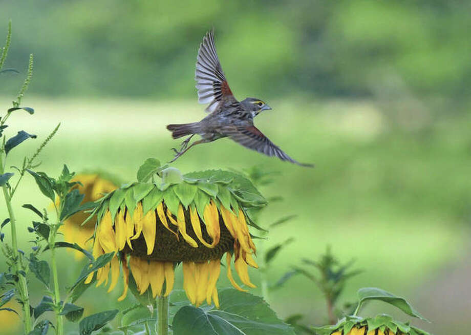 A bird uses a sunflower as a launching pad at Jim Edgar Panther Creek State Fish and Wildlife Area.