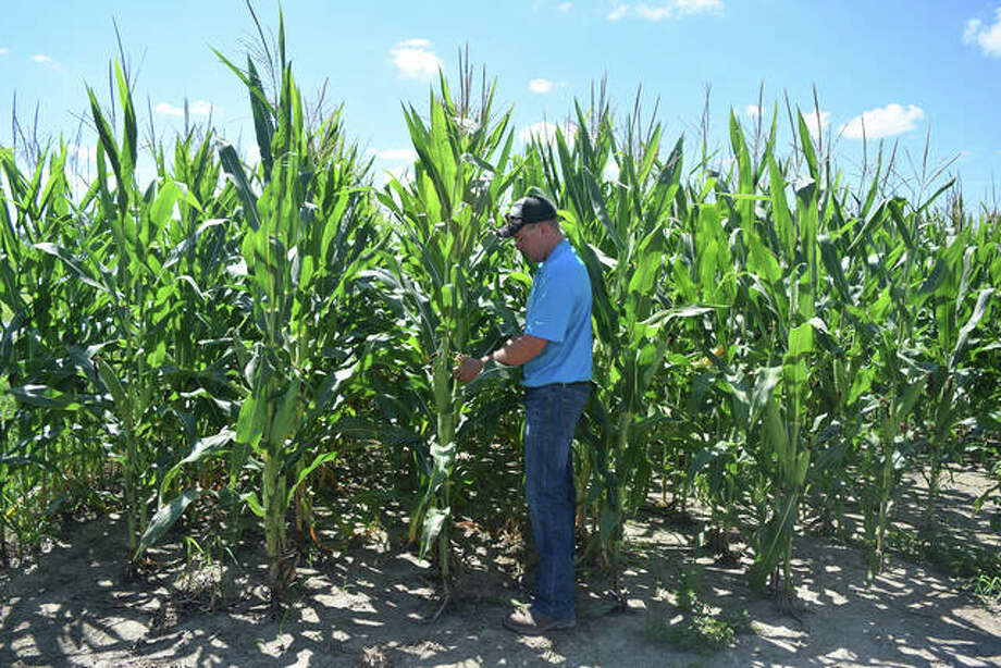 Jacob Freeman of Woodson inspects his corn crops Thursday. Photo: Rochelle Eiselt | Journal-Courier