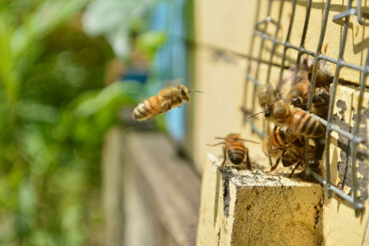 Bees return to a hive at Randall's Farm in Eastern.