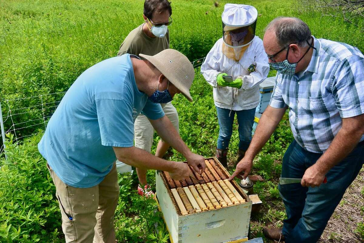 George Luft, Wayne Zabel, Julia Jaynes and David Blocher, left to right, check a honeybee hive at Randall's Farm in Easton owned by the Aspetuck Land Trust. Blocher is cultivating queen bees that are resistant to mites that can severely damage hives.