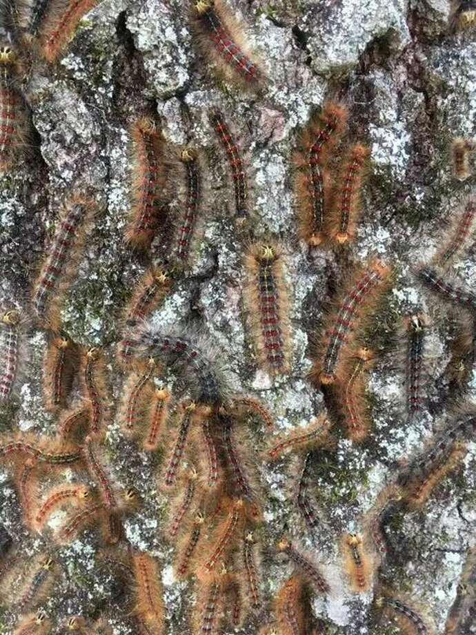 According to the Mecosta/Osceola Lake Conservation District, gypsy moth caterpillars are known for feeding on the leaves of oaks, aspen, crabapple and many other types of trees. The caterpillars can be so abundant that many trees will be completely defoliated by early July.(Courtesy photo)
