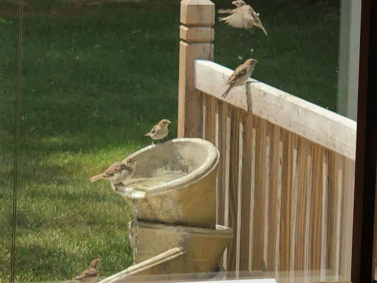 This photo was taken at Jim Hoffman's fountain which is on the deck of his home in Delmar. Several sparrows came to enjoy a bath and a drink together on Aug. 17.
