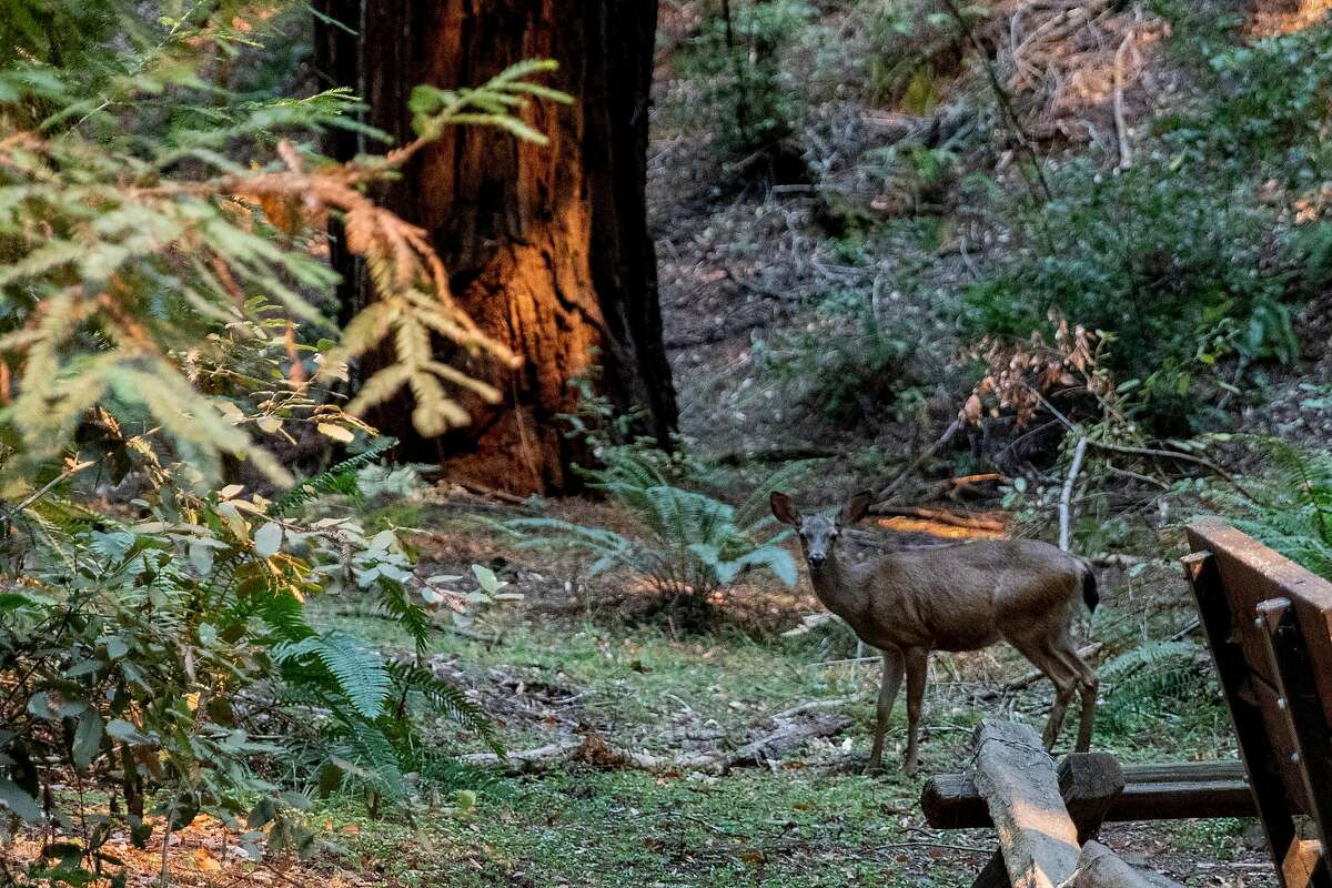 A deer walks through the southern grove of Armstrong Woods Natural Reserve as the Walbridge Fire burns north of the park in Guerneville, Calif. Friday, August 21, 2020. Firefighers are working to hold the southern fire line north of Sweetwater Springs Road and are concerned that if it jumps, it will make its way down the hill toward the populated towns of Rio Nido and Guerneville. The Walbridge Fire stands at 21,125 acres and is 0% contained as of Friday.